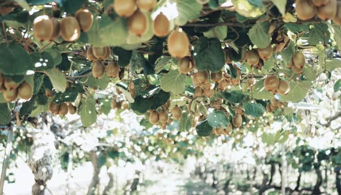 Kiwi Fruit Orchard